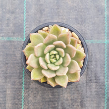 Load image into Gallery viewer, Echeveria Arzee
