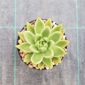Echeveria agavoides Lemaire