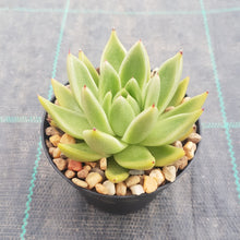 Load image into Gallery viewer, Echeveria agavoides Lemaire