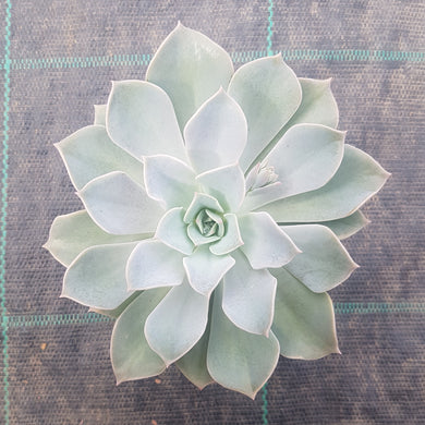 Graptoveria Coconut Ice