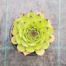 Load image into Gallery viewer, Sempervivum tectorum