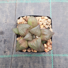 Load image into Gallery viewer, Haworthia Leiyingshou