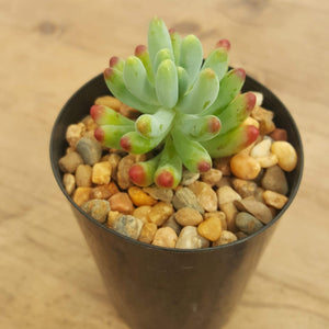 Sedum Blue Jelly Bean
