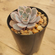 Load image into Gallery viewer, Echeveria Orion