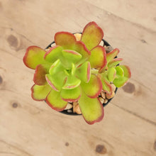 Load image into Gallery viewer, Sedum dendroidum