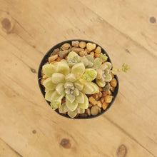 Load image into Gallery viewer, Graptopetalum Mendozae