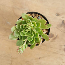 Load image into Gallery viewer, Echeveria Leisal