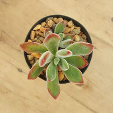 Load image into Gallery viewer, Echeveria pulvinata Ruby