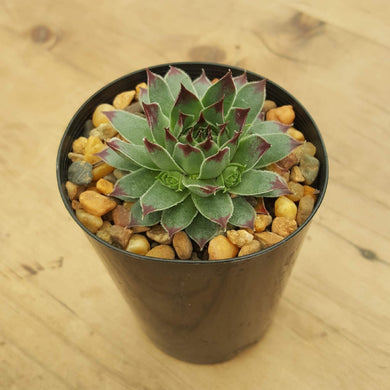 Sempervivum Blue Grey Dark Tips