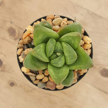 Load image into Gallery viewer, Haworthia cuspidata