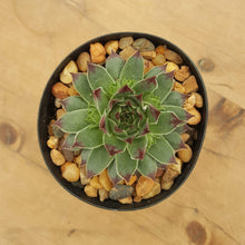 Load image into Gallery viewer, Sempervivum Blue Grey Dark Tips