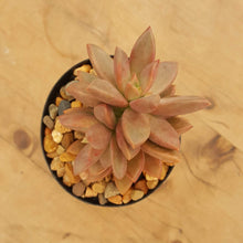 Load image into Gallery viewer, Sedum Bronze Delight
