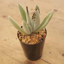 Load image into Gallery viewer, Kalanchoe tomentosa