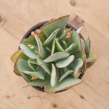 Load image into Gallery viewer, Crassula arborescens