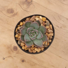 Load image into Gallery viewer, Echeveria peacockii x setosa var. secunda