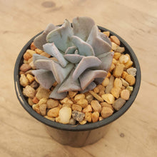 Load image into Gallery viewer, Echeveria Cubic Frost