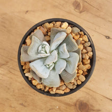 Load image into Gallery viewer, Echeveria Exotic (4-5 cm W)
