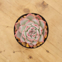 Load image into Gallery viewer, Echeveria lindsayana
