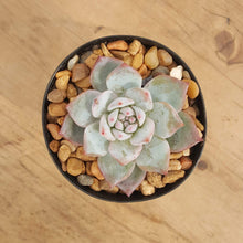 Load image into Gallery viewer, Echeveria Blue Bird