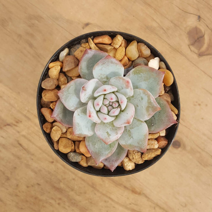 Echeveria Blue Bird