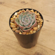 Load image into Gallery viewer, Echeveria Hercules