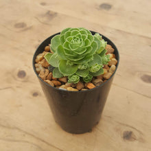 Load image into Gallery viewer, Aeonium aureum