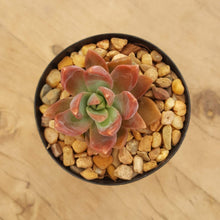 Load image into Gallery viewer, Graptosedum Paddy Peate