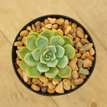 Load image into Gallery viewer, Echeveria Glauca