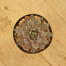 Load image into Gallery viewer, Sempervivum Rubrum Ray (3-4 cm W)