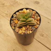 Load image into Gallery viewer, Crassula Talisman