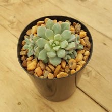 Load image into Gallery viewer, Echeveria Subcorymbosa Lau 030