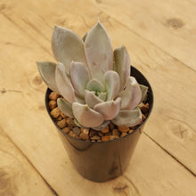 Load image into Gallery viewer, Echeveria Beverley