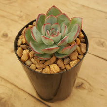 Load image into Gallery viewer, Echeveria Haru Urara