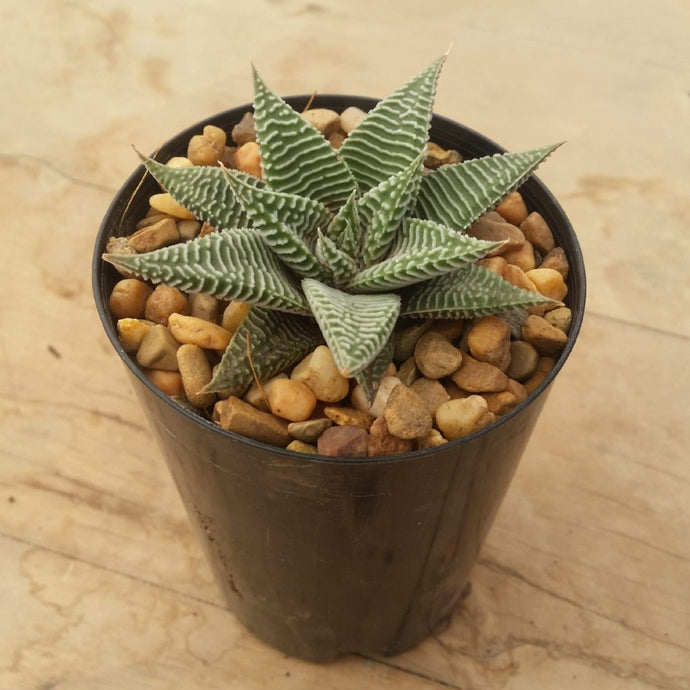 Haworthia Spider White