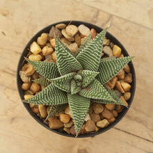 Load image into Gallery viewer, Haworthia Spider White