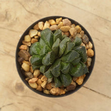 Load image into Gallery viewer, Haworthia retusa