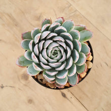 Load image into Gallery viewer, Echeveria Violet Queen