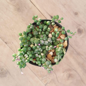 Senecio String of Pearls - Variegated