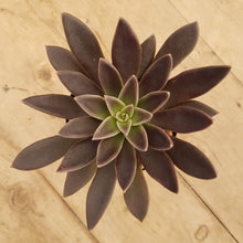 Load image into Gallery viewer, Echeveria Serrana