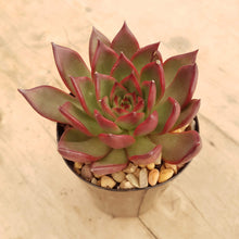Load image into Gallery viewer, Echeveria benimusume