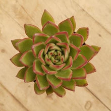 Load image into Gallery viewer, Echeveria Red Tips