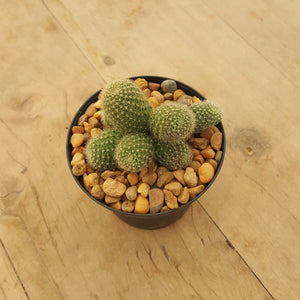 Rebutia Yellow