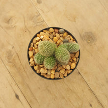 Load image into Gallery viewer, Rebutia Yellow