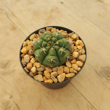 Load image into Gallery viewer, Gymnocalycium White