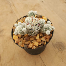 Load image into Gallery viewer, Mammillaria gracilis