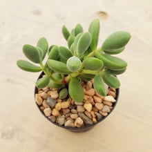 Load image into Gallery viewer, Crassula rogersii