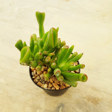 Load image into Gallery viewer, Crassula gollum