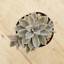 Load image into Gallery viewer, Graptoveria Rose Queen - SLIGHTLY MARKED