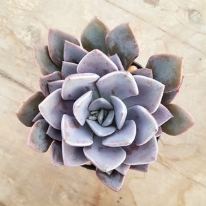 Graptoveria Debbi