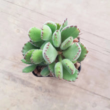 Load image into Gallery viewer, Cotyledon tomentosa Bear's Paw - Medium